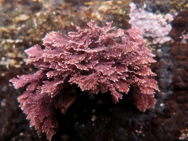 Coral Weed (Corallina officinalis)