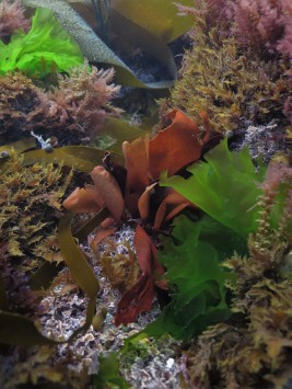 Red Rags (Dilsea carnosa)