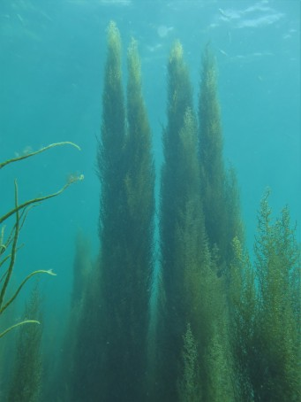 Wire Weed (Sargassum muticum)