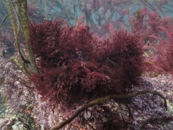Spiny Straggle Weed (Gelidium spinosum)