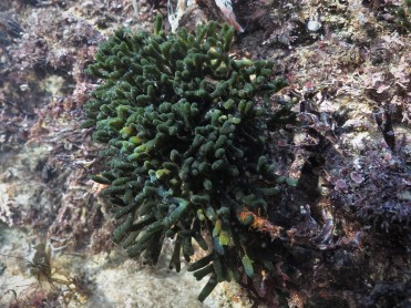 Green Sponge Fingers (Codium spp.)