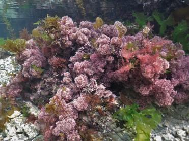 Slender-Beaded Coral Weed (Jania rubens)