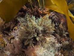 Rounded Fern Weed (Osmundea truncata)