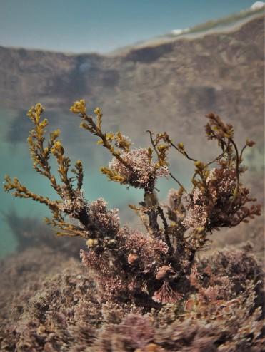 Bushy Rainbow Wrack (Cystoseira tamariscifolia)