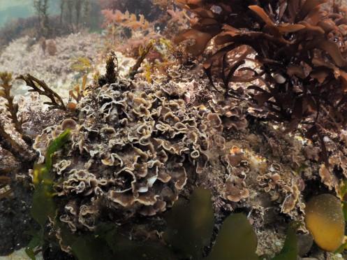Pink Plates (Mesophyllum lichenoides)
