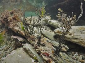 Black Scour Weed (Ahnfeltia plicata)